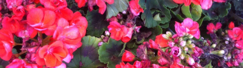 פרחים רב שנתיים