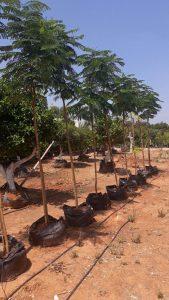 עצי נוי- סיגלון