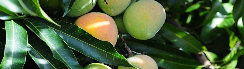 עץ מנגו